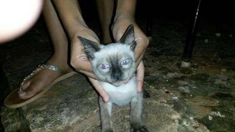 Gato Angora macho de 2 meses
