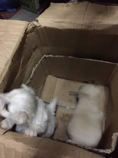 Cachorros Caniches