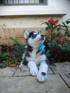 Cachorro Siberiano