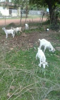 Cabras de 3 meses anglo nubian
