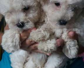 Cachorros caniches toy