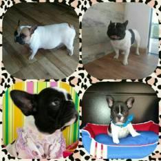 Cachorro Bulldog francês macho y hembra