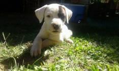 Cachorro Dogos Argentinos