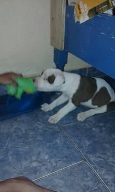 Cachorro Pitbull hembra con sus vacunas