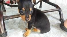 Cachorritos pincher vacunados y desparasitados de 62 días