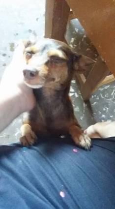 Cachorro Pincher marrón