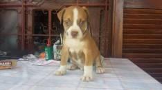 Cachorro Pitbulls