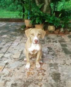 Cachorro pitbull de 4 meses