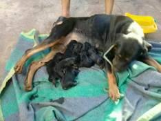 Cachorrito de Rottweiler