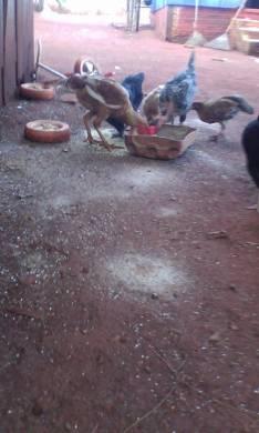 Gallinas e pollitos