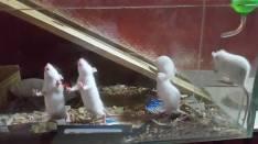Ratones blancos