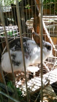 Conejas enanas adultas y 2 conejas reproductoras