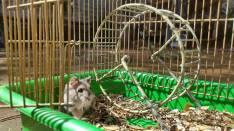 Pareja de Hamsters Rusos