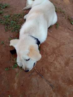 Cachorra labradora de 3 meses