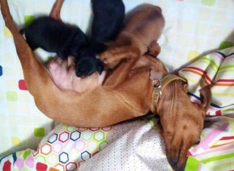 Cachorros Pincher Miniatura Cero Color Negro