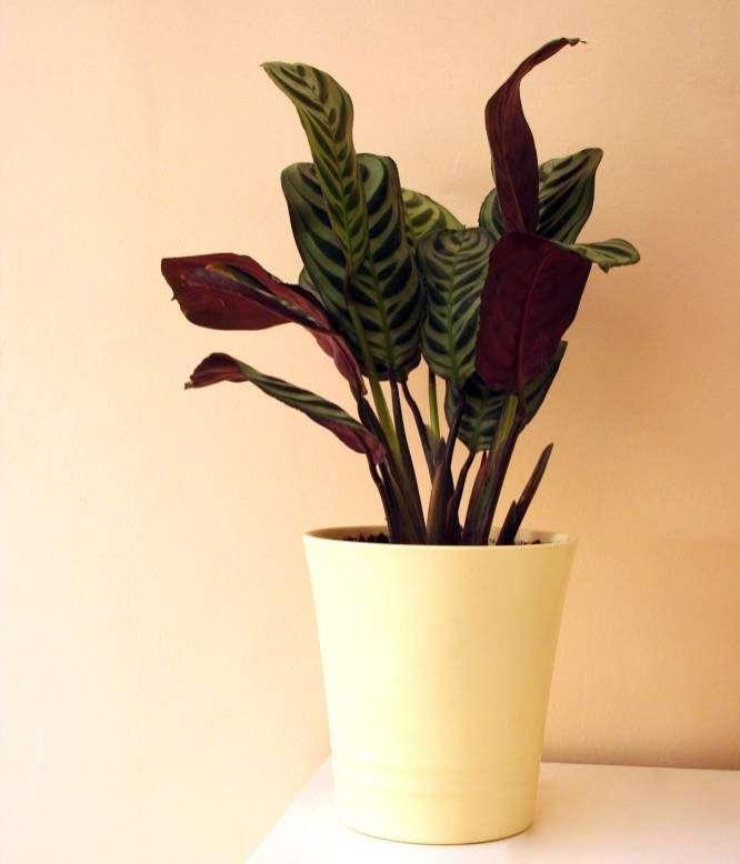 Calathea Lancifolia en maceta