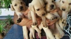 Cachorros Labrador retrievel machos y hembras