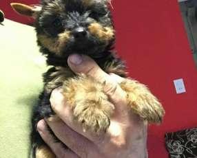 Cachorros Yorkshire miniatura macho y hembra