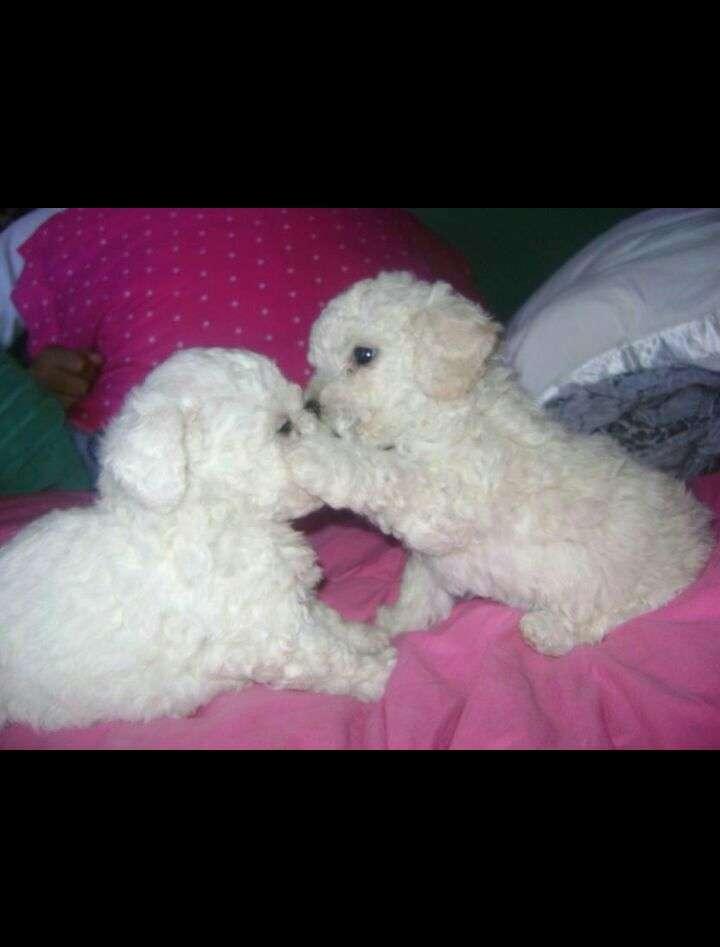 Cachorros machos y hembras caniche toy - 1