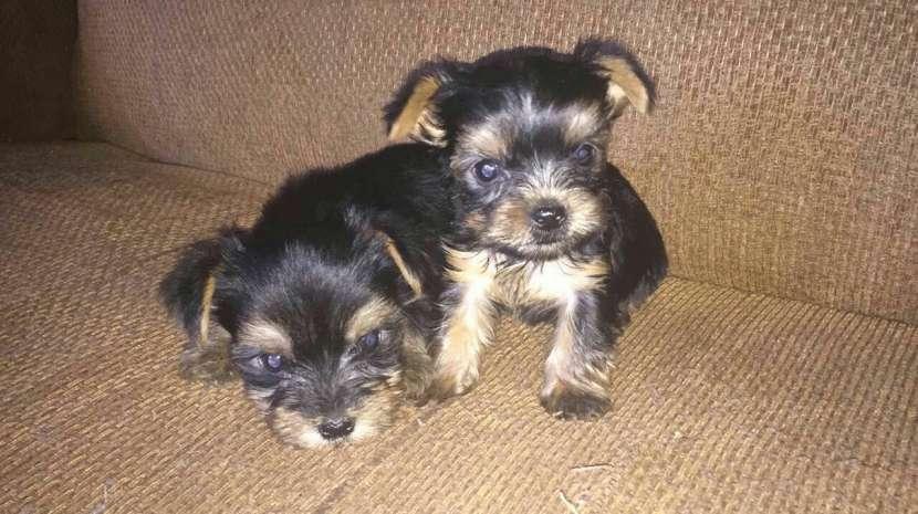 Cachorros Yorkshire miniatura macho y hembra - 1