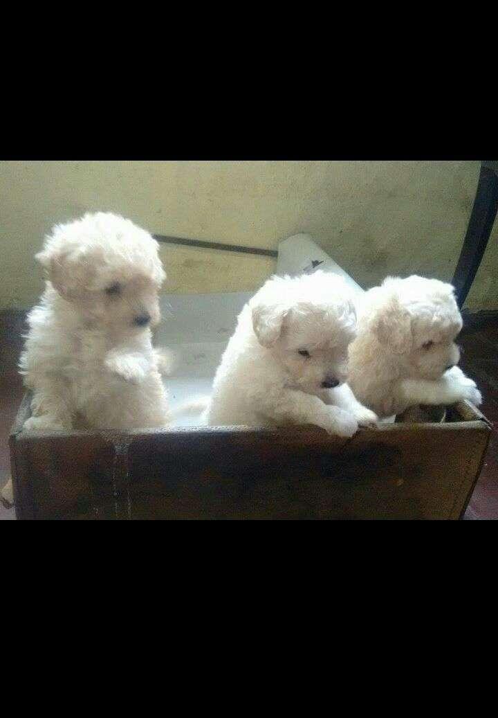 Cachorros machos y hembras caniche toy - 3