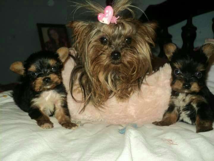 Cachorros Yorkshire miniatura macho y hembra - 3