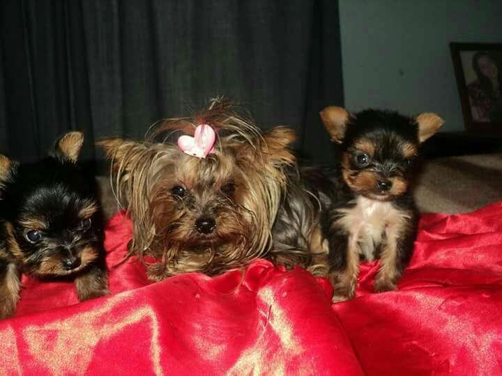 Cachorros Yorkshire miniatura macho y hembra - 4