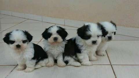 Cachorros Lhasa apso macho y hembra
