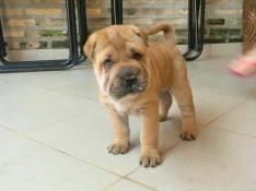 Cachorro sharpei hembra plan sanitarios al día