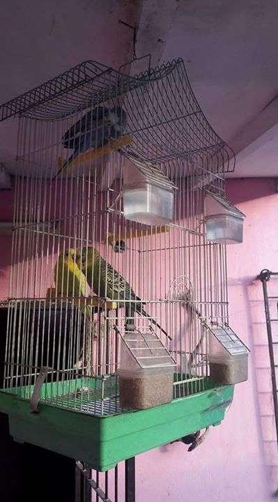 Canarios con jaula