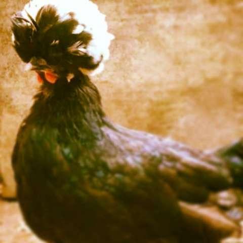 Pollitos de gallinas de raza