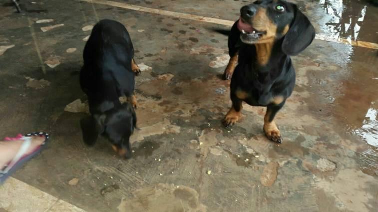 Cachorros Salchichas