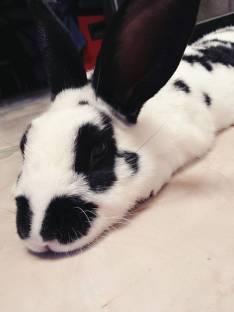 Conejo macho para reproductor