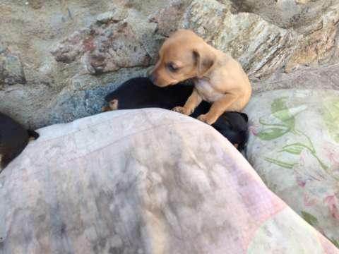 Cachorros pincher N2