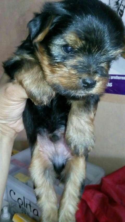 Cachorro yorkshire miniatura