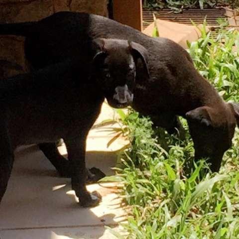 Cachorro Labrador hembra
