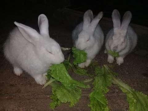 Conejitos blancos