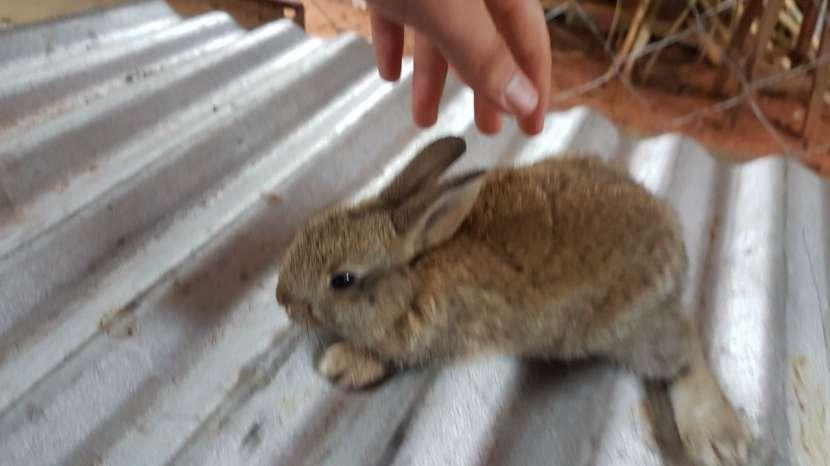 Conejos cruza Polish