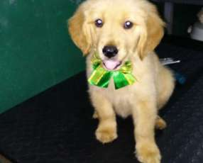 Cachorro Golden retriever hembra