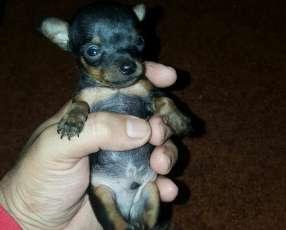 Cachorros mini pincher