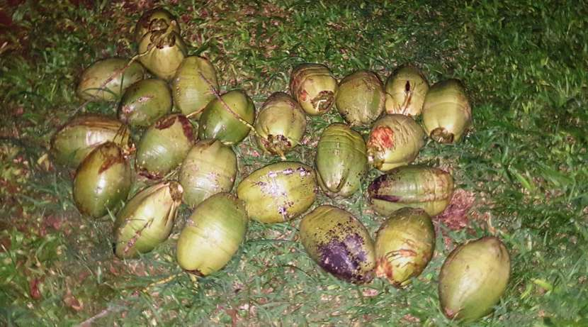 Fruta de coco brasilero - 1