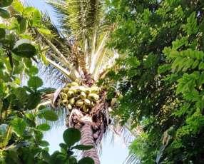 Fruta de coco brasilero