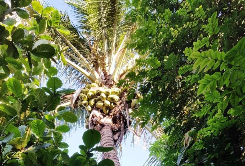 Fruta de coco brasilero - 0