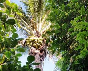 Planta de coco brasilero