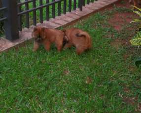 Cachorros Chow chow disponibles