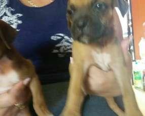 Cachorros boxer macho y hembra plan sanitario al día