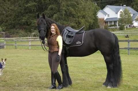 Frisón caballo castrado