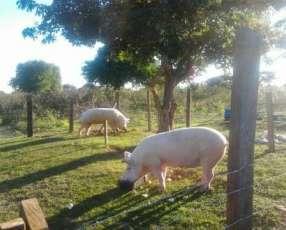 Balanceados para cerdo