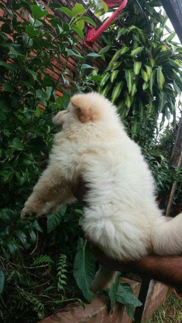 Chow chow hembra blanca - 3