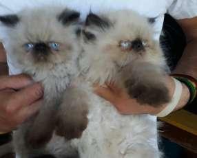 Gatitos persas machitos